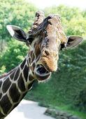 长颈鹿画像 — 图库照片