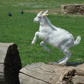 Baby Goat jumping — Stock Photo