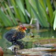 Baby eurasian coot - Stock Photo