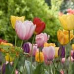 Beautiful tulips — Stock Photo #2972262