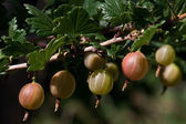 Branch of the gooseberry with berry — Stock Photo