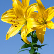 Yellow lily — Stock Photo #3615377