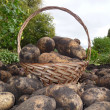 Potatoe basket — Stock Photo