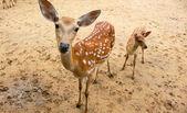 Deer mother and baby — Stock fotografie