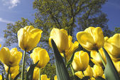 Tulip flower with golden color — Photo