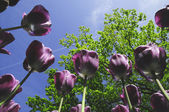 Perfect tulip flower with purple color — Stok fotoğraf