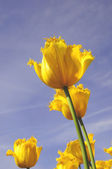 Perfect tulip flower with golden color — Photo