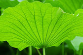 Texture of Lotus leaf pattern — Stock Photo