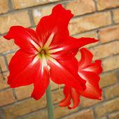 Hippeastrum hybridum hort. — Stock Photo