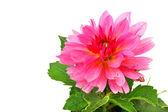 Flower of dahlia — Stock Photo