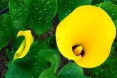 Calla lily — Stockfoto