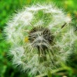 Dandelion — Stock Photo #2774934