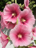 Garden hollyhock lcea Althea rosea — Stock Photo