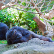 Chimpanzee have a rest — Stock Photo