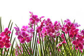 Orchidee rosa — Foto Stock