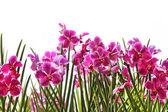 Růžové orchideje — Stock fotografie