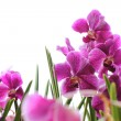Stock Photo: Pink orchids