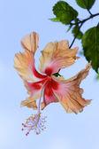 Hibiscus — Stock Photo