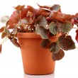 Stock Photo: Pot plant