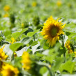 Sunflowers in the foreground — Stock Photo