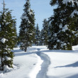 Fir trees by winter — Stock Photo