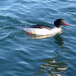 Goosander male duck — Stock Photo
