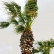 Stock Photo: Palm trees in wind