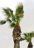 Palm trees in the wind — Stock Photo