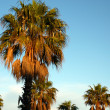 Stock Photo: Palm trees by sunset