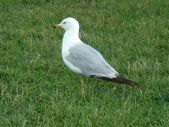 Seagull on the grass — Stock Photo