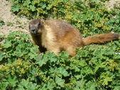 Marmot — Stock Photo