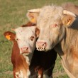 Calf and mother cow together — Stock Photo #3607482