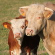 Calf and mother cow together — Stock Photo