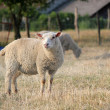 Sheep in a meadow with others — Stock Photo