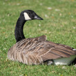 Royalty-Free Stock Photo: Goose lying in the grass