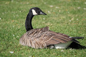 Goose lying in the grass — Stock Photo