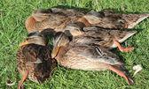 Sleeping ducks — Stock Photo