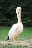 Pelikan stehen auf dem rasen — Stockfoto