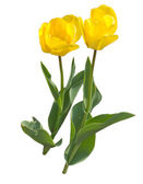 Tulip love — Stock Photo