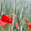 Red poppies and wheat — Stock Photo