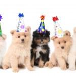 Five Pomeranian Puppies Celebrating a Bi — Stock Photo