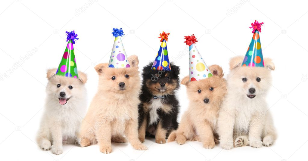 Group of Pomeranian Puppies Celebrating a Birthday on White Background — Stock Photo #2998332