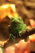 Exotic Waxy Monkey Frog Sitting on a Branch — Stock Photo