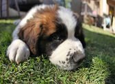 Puppy Lying in the Grass Looking Sad — Stock Photo