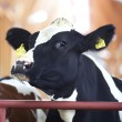 Numbered cow — Stock Photo #2859892