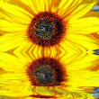 Two sunflowers — Stock Photo #2861104