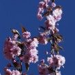 Stock Photo: Japanese cherry blossoms