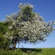 Wild cherry tree — Stock Photo