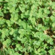 Royalty-Free Stock Photo: Clover background
