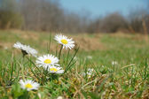 Daisy meadow — Stock Photo